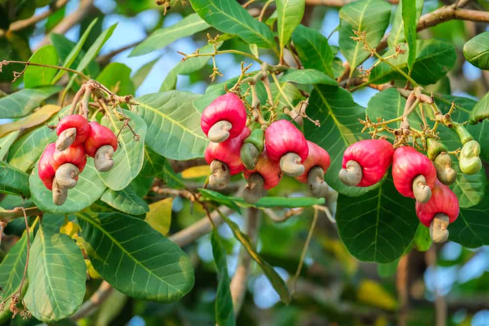 How Are Cashews Processed?